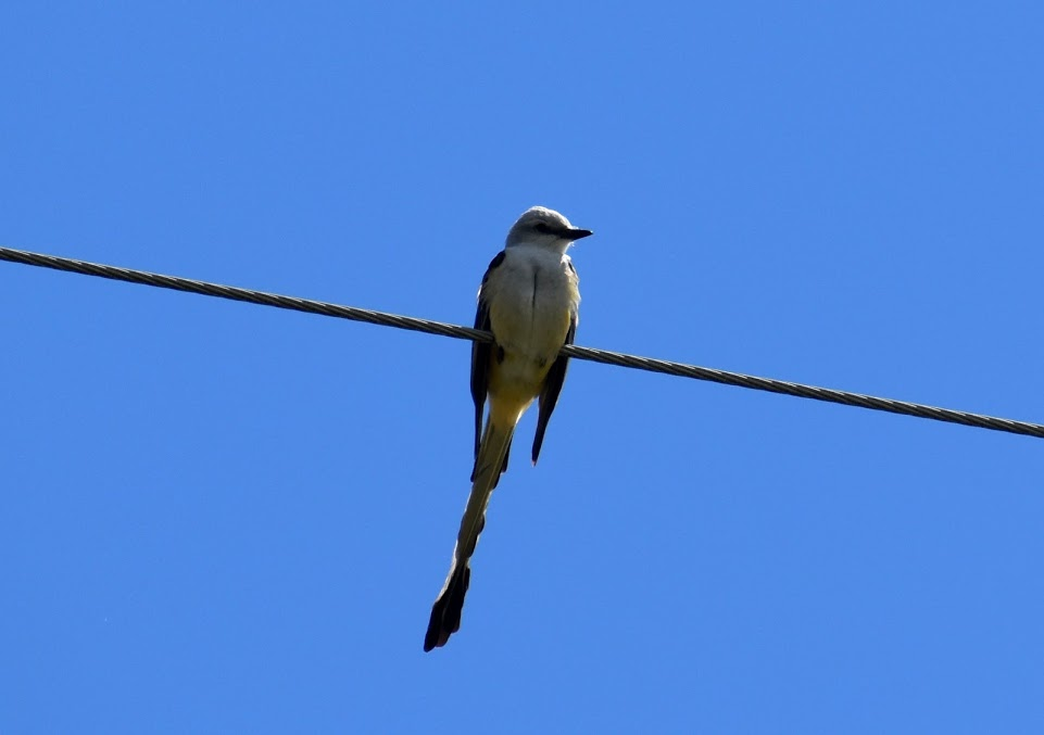 Scissor-tail flycatcher perched on an electrical line.