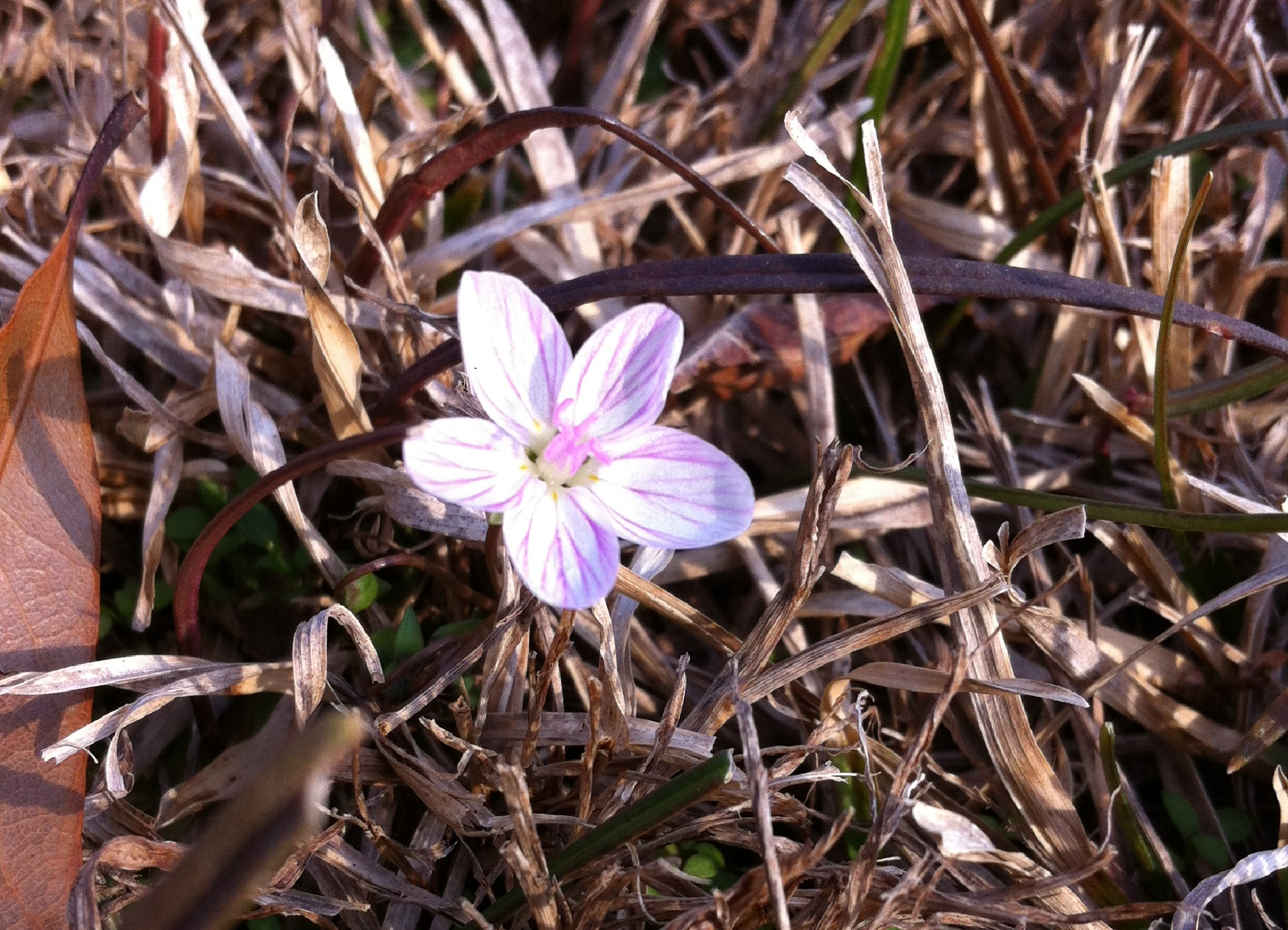 up close view of small white and pink flower contrasted against brown, dormant grass]