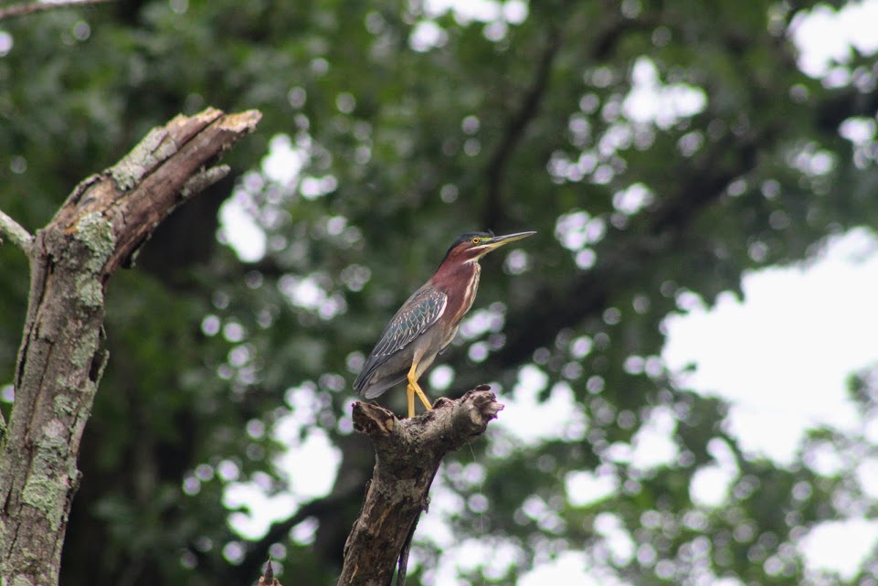 Green heron in the top of a dead tree with neck tucked in tightly
