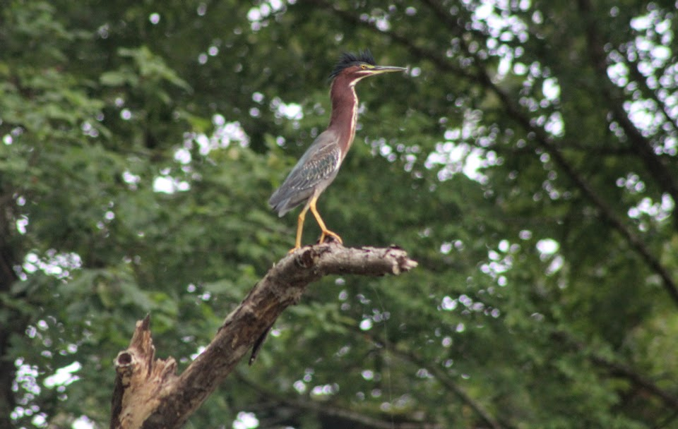 Green heron with neck extended