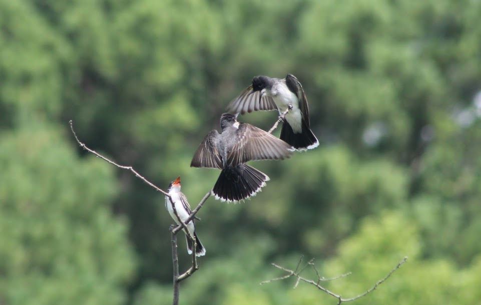three eastern kingbirds engaging in a territorial dispute