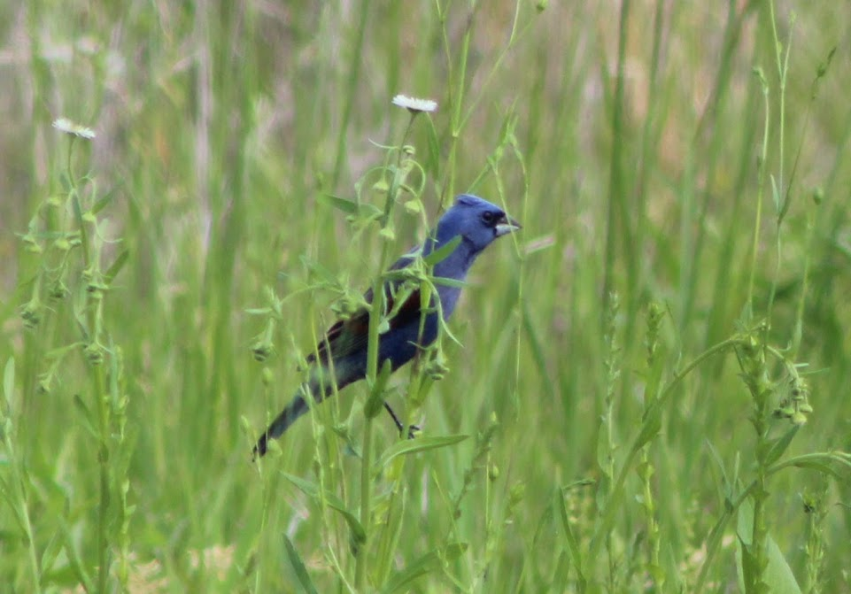 Male blue grosbeak gripping the stem of wildflower for purchase.