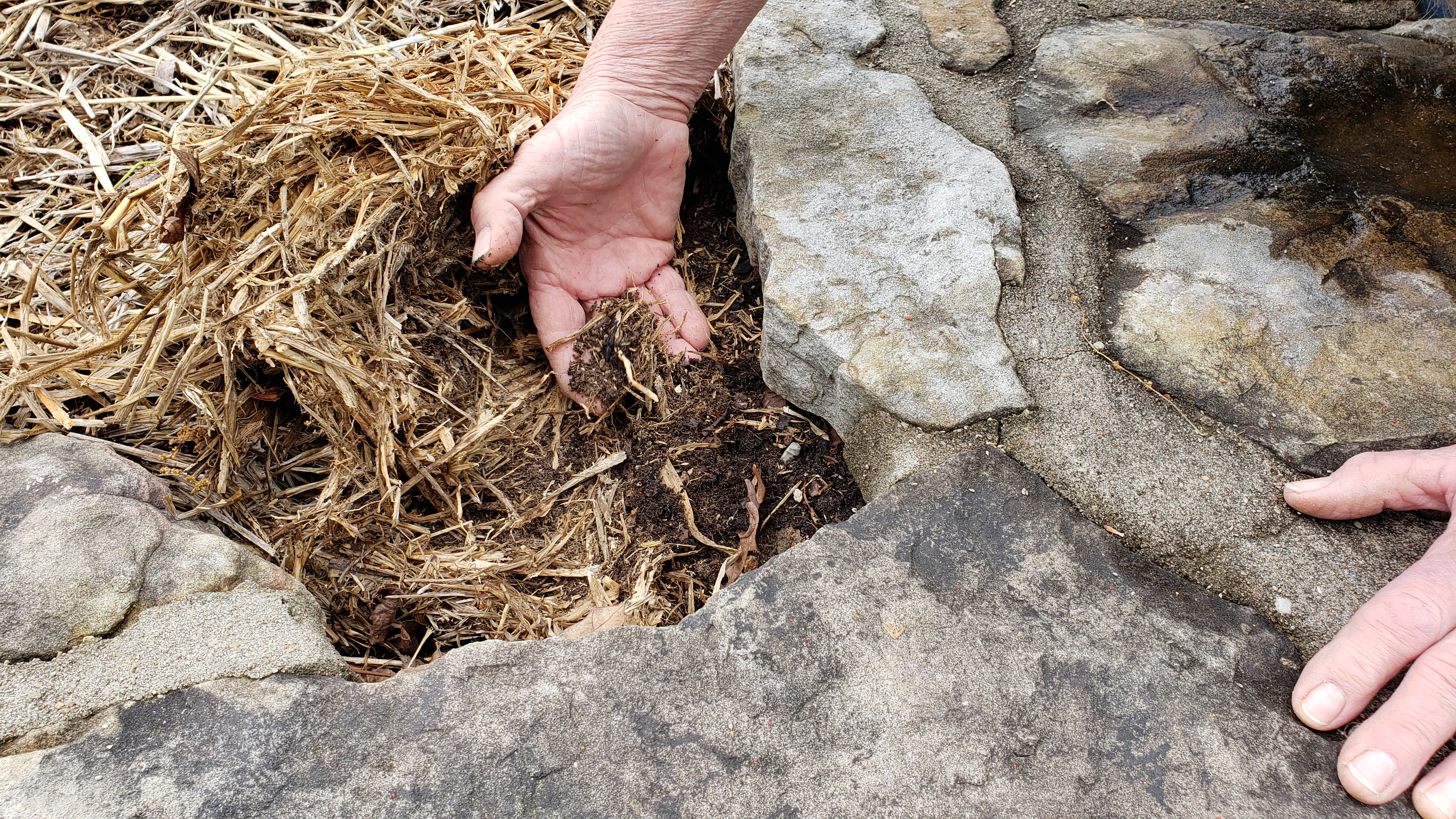 Gardener with hand in straw mulch showing break down into organic matter