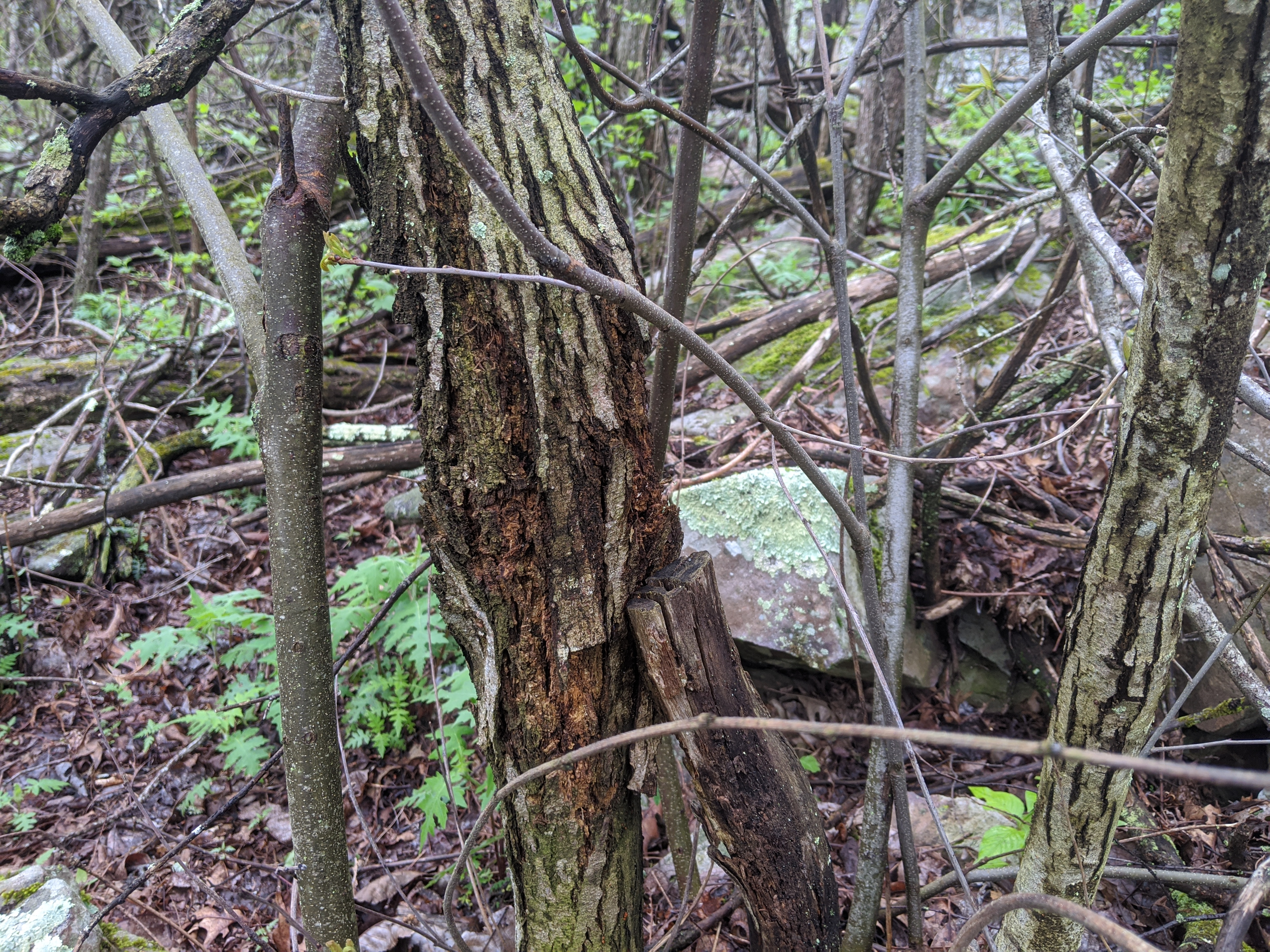 blighted chinquapin canker in forest with suckers growing around it