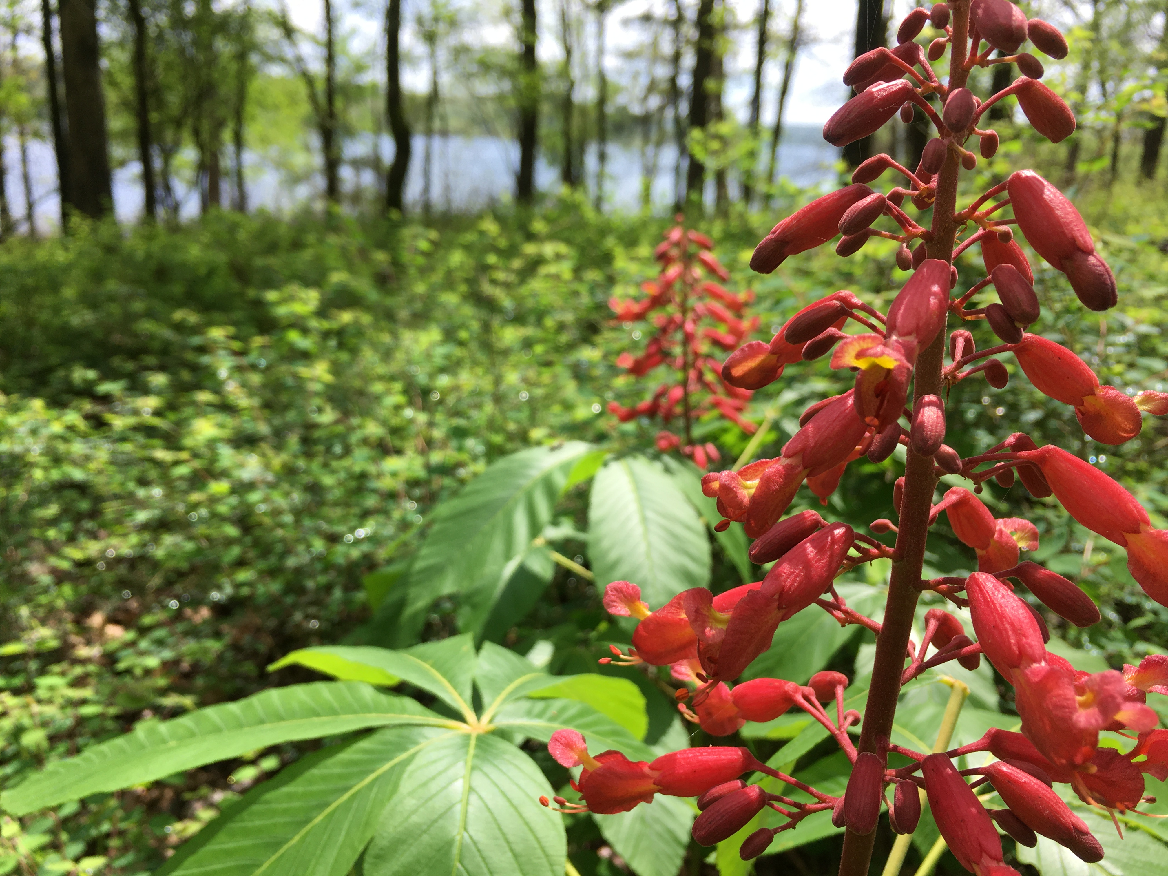 red buckeye, a vertical stalk of red blossoms above large green leaves
