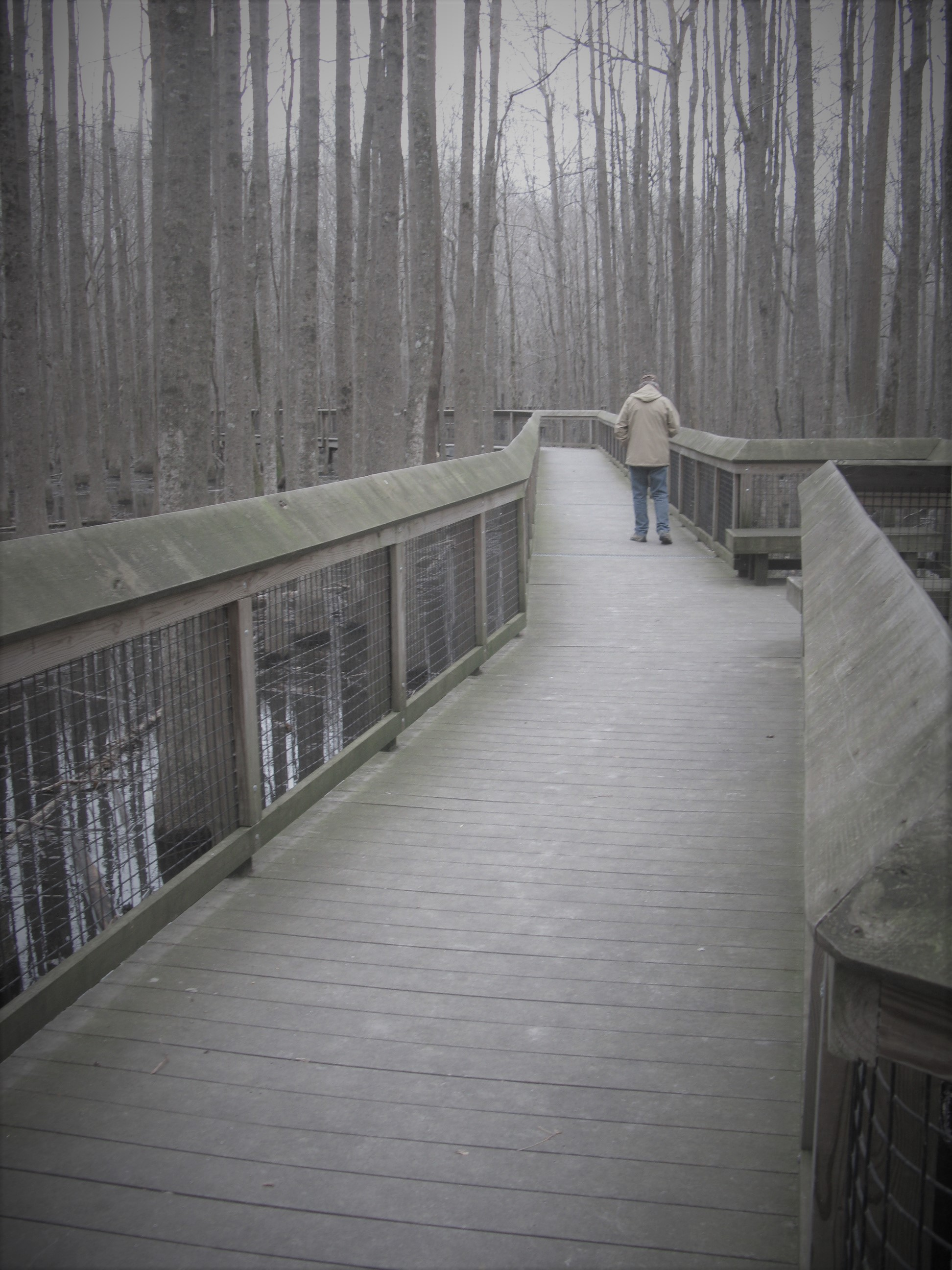 a man walks on the boardwalk in winter, surrounded by leafless trees and water below the boardwalk