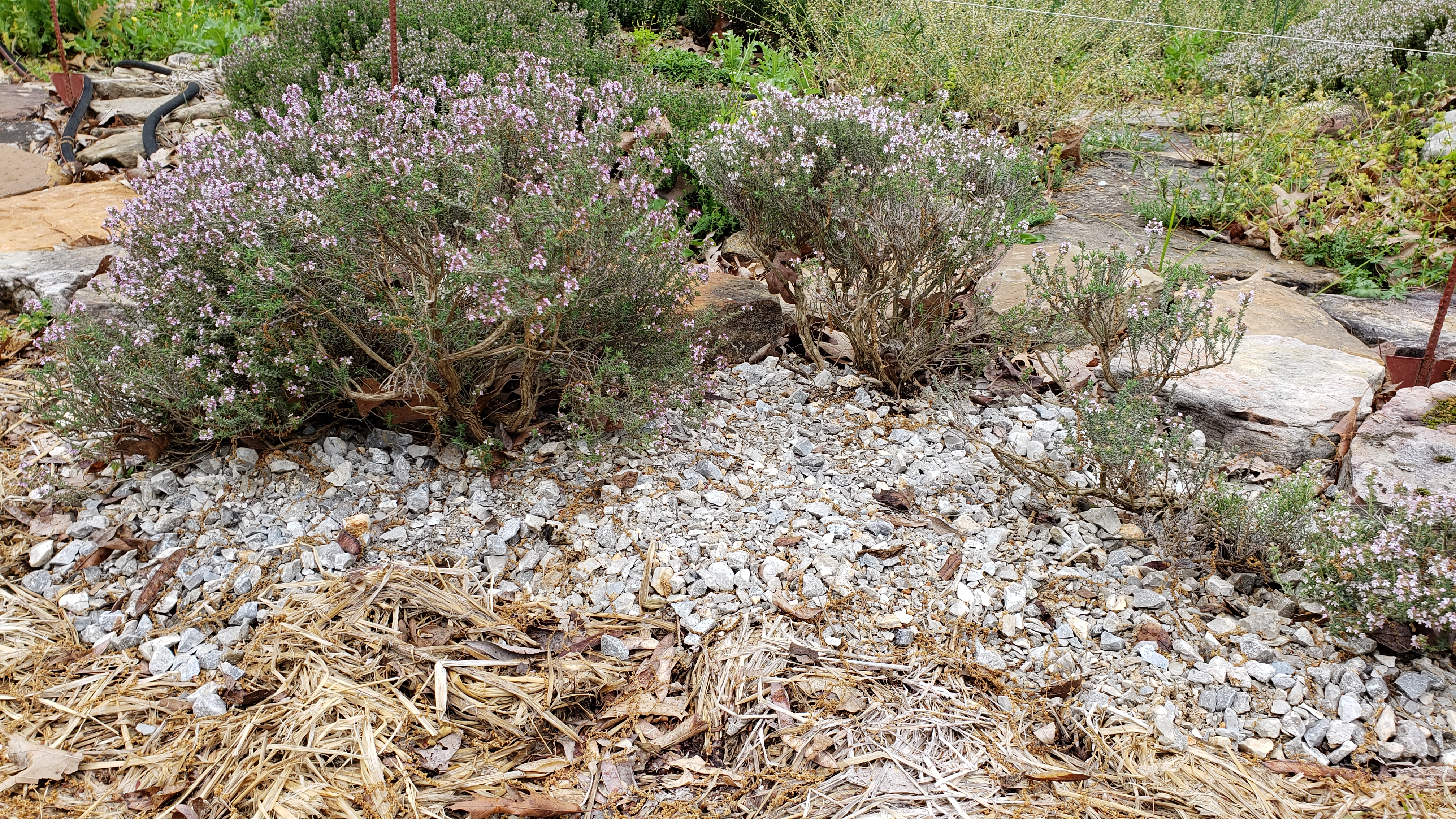 Rosemary plants in the park's Kitchen Garden thrive in a mulch of gravel. Wood mulch in the foreground is used to suppress weeds.