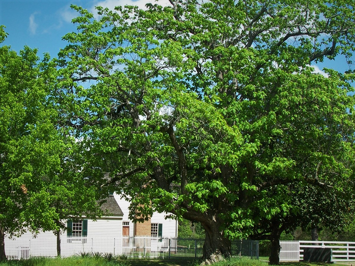 Southern catalpa tree in the foreground with a white house and white picket fence in the background