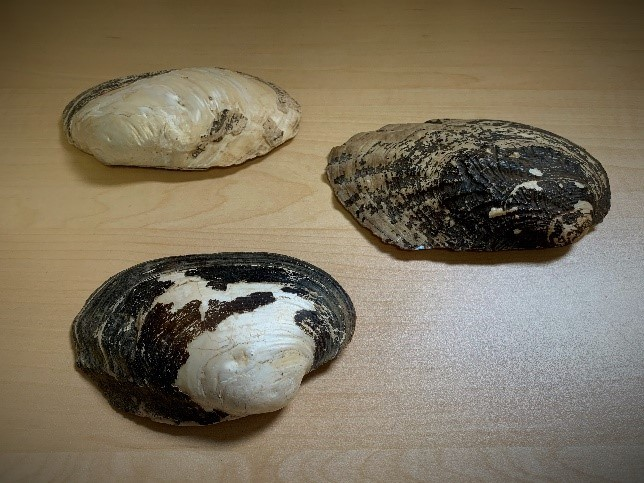 Three mussel shells laying on a tabletop.