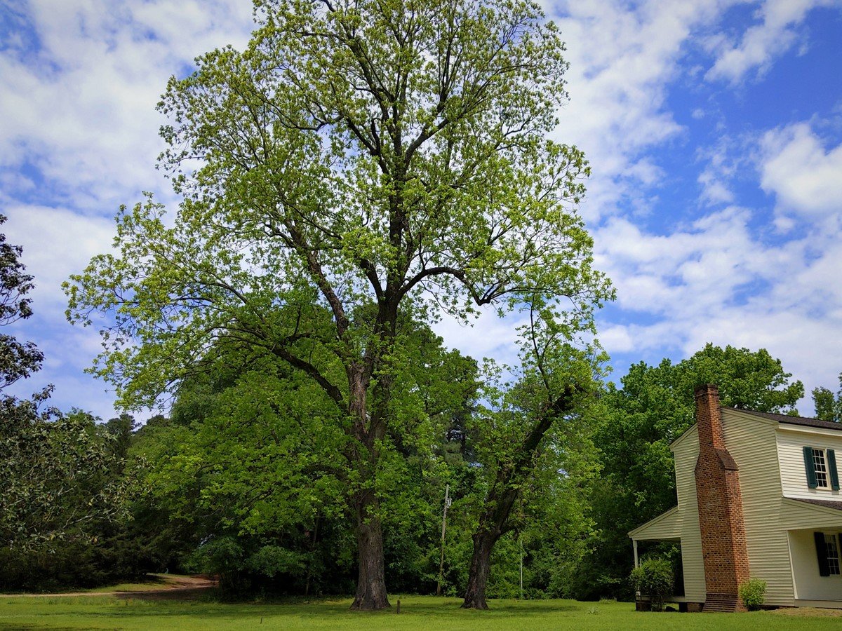 Tall pecan tree towering over the two-story Abraham Block House to the right