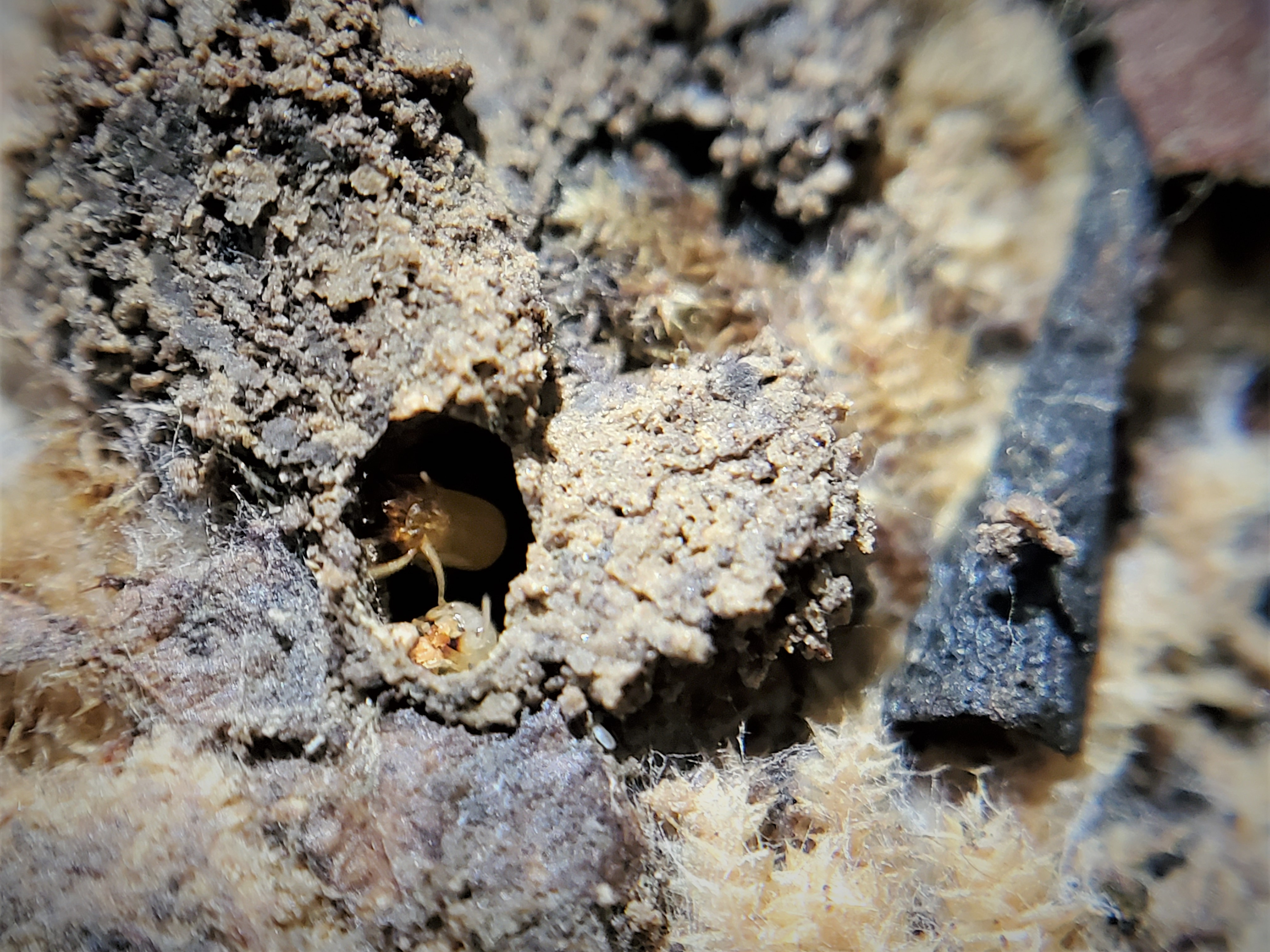 Two termites can be seen looking out from a small hole in a rotten log.