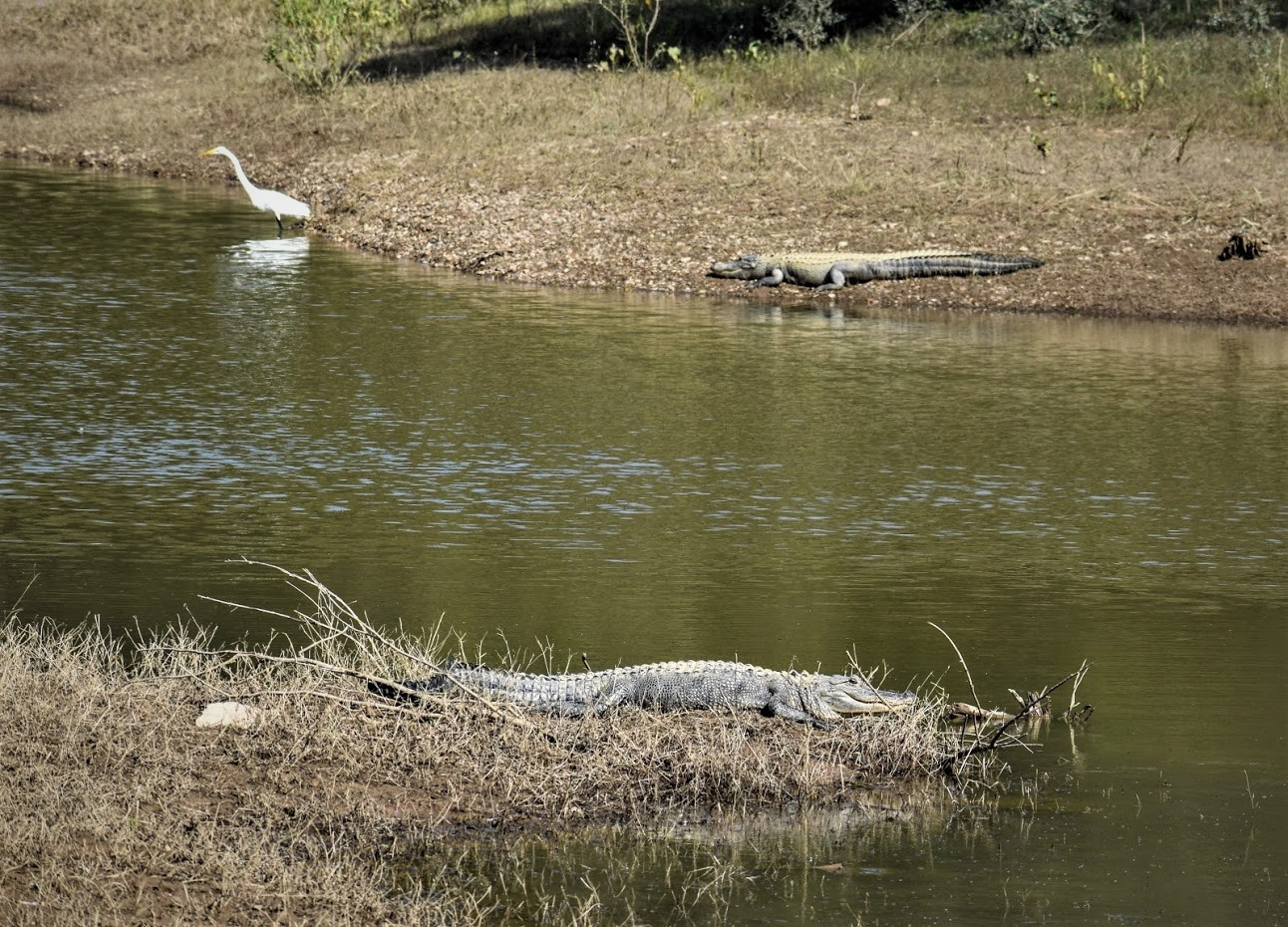 two alligators sunning with a great egret nearby