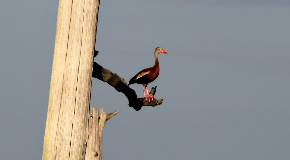 Lone black-bellied whistling duck resting in a dead tree