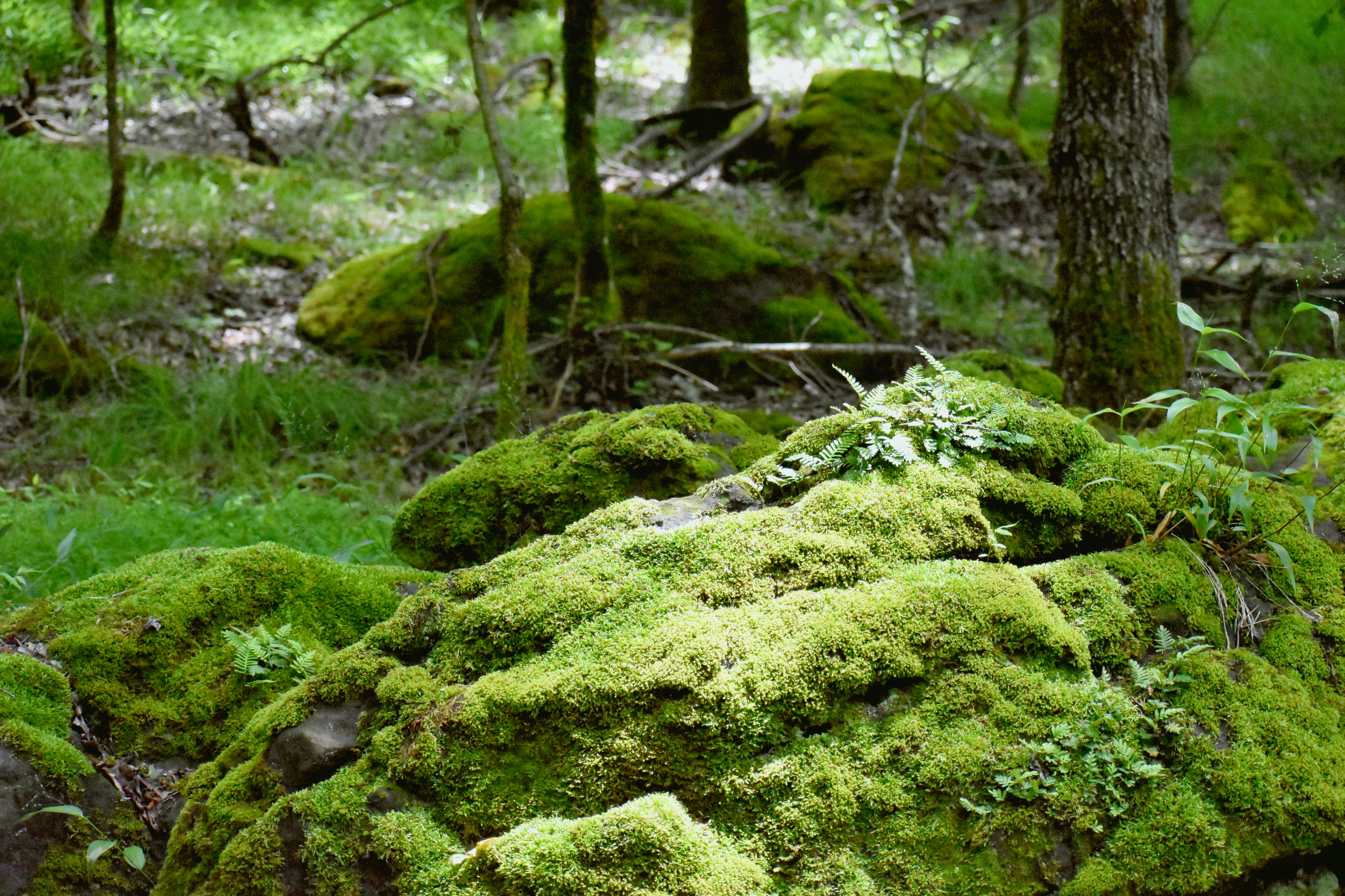 Rounded, moss-covered boulders in a hardwood forest.