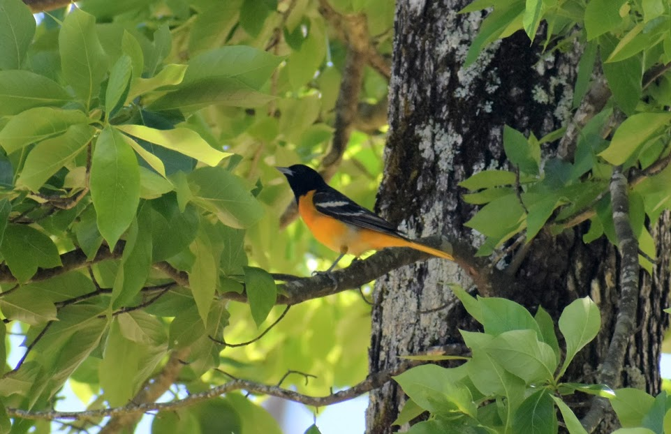 A Baltimore oriole among ample foliage.