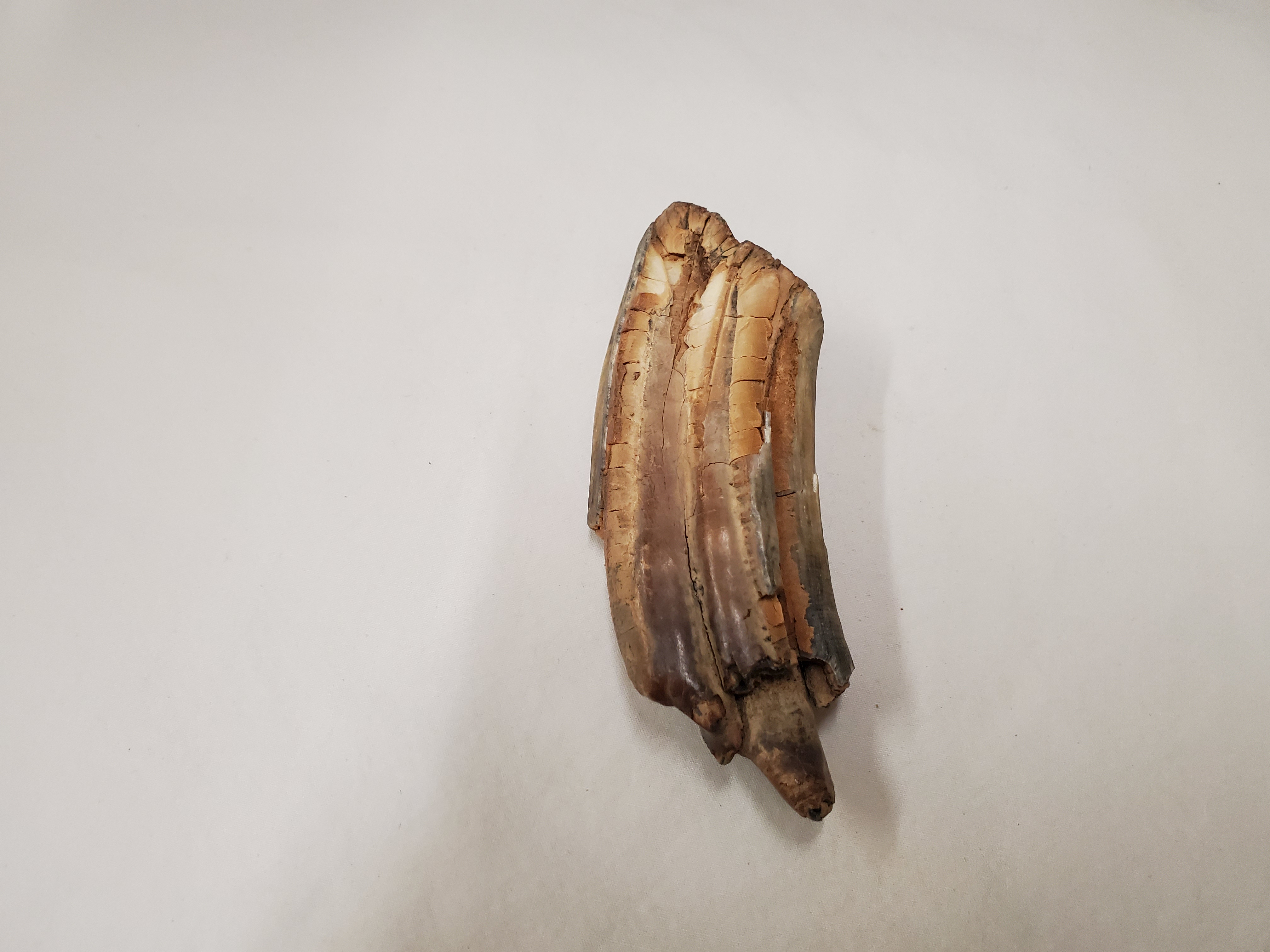 A fossilized horse tooth on a white background