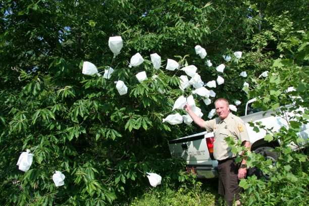 Paper bags cover numerous pollinated blooms on chinquapin trees in the forest