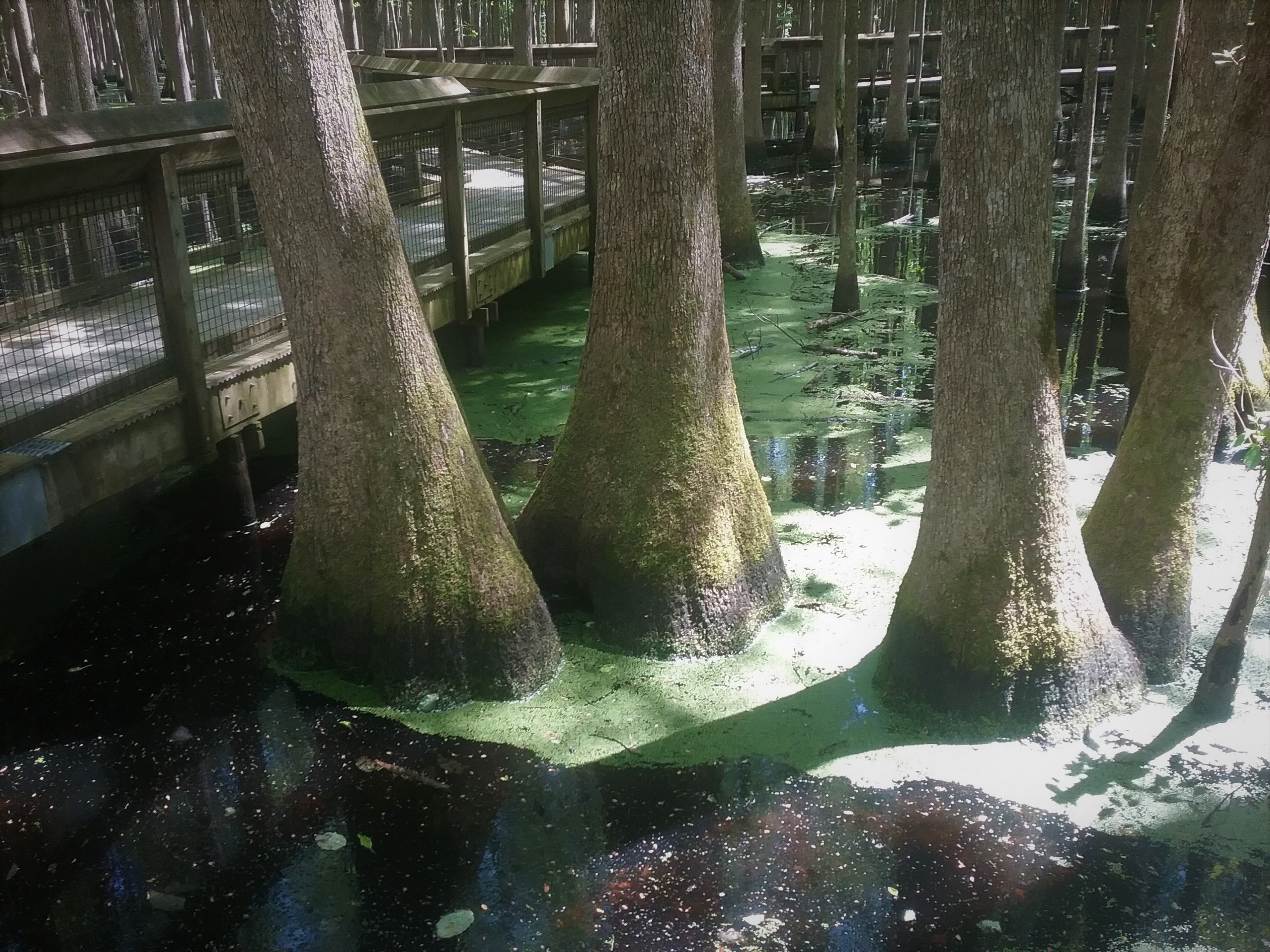 Four large water tupelo trees growing in swamp with widened bases.