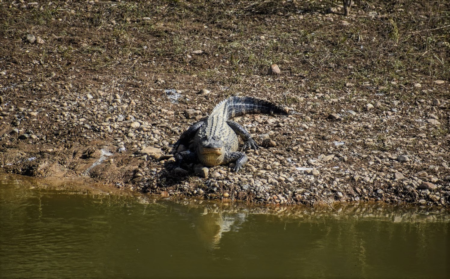 a large alligator suns on the bank facing the water