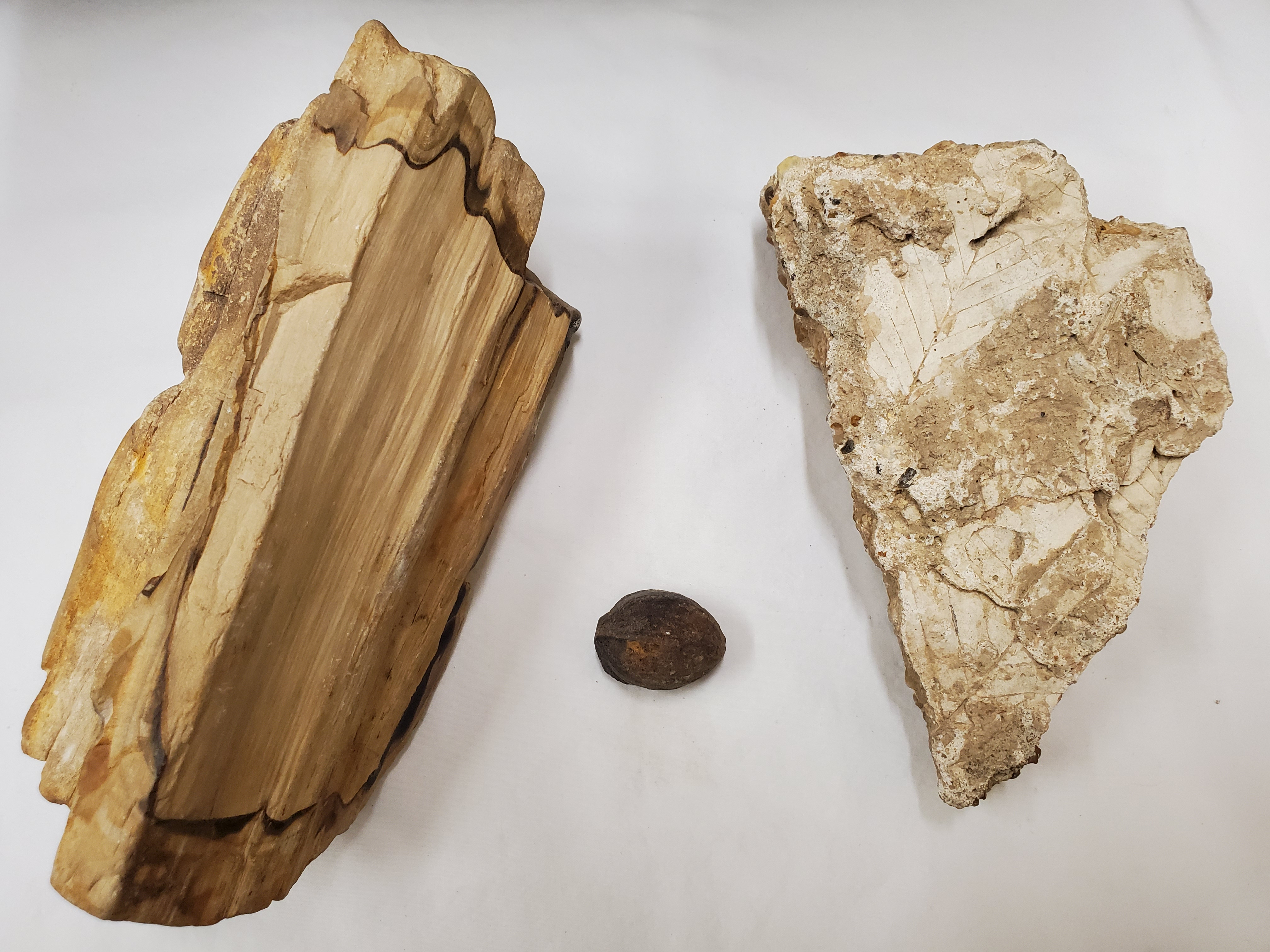 From left to right: A piece of petrified wood, a petrified nut, and a piece of rock with leaf imprints on a white background