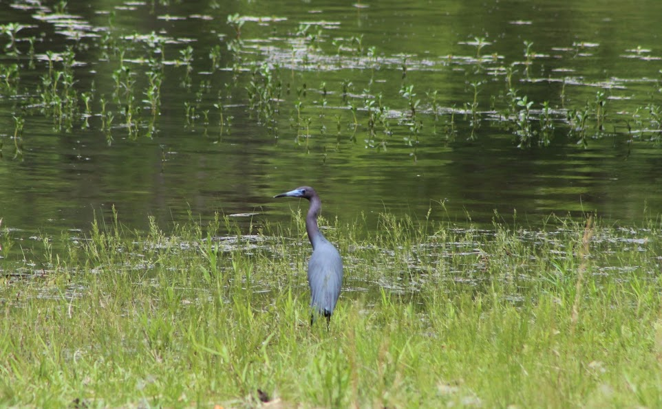 A little blue heron hunting near the bank of a lake.