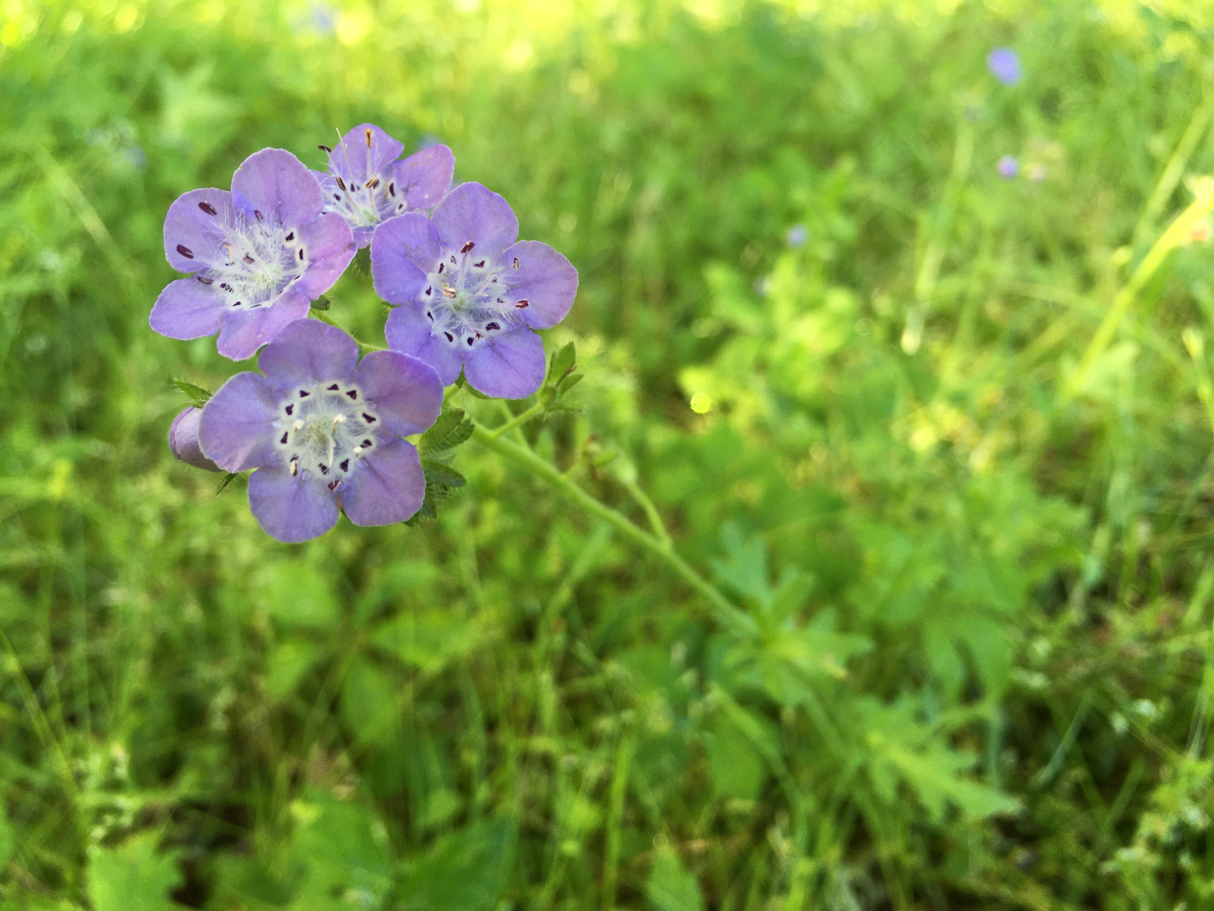 hairy phacelia  – light purple wildflowers with white rings in the centers, spotted with dark purple shapes