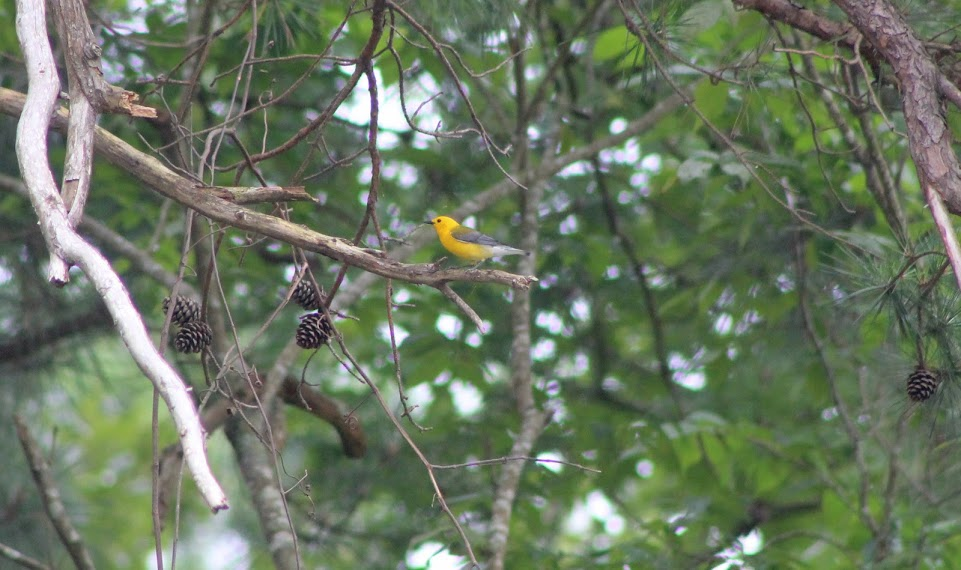Prothonotary warbler perched in a tree