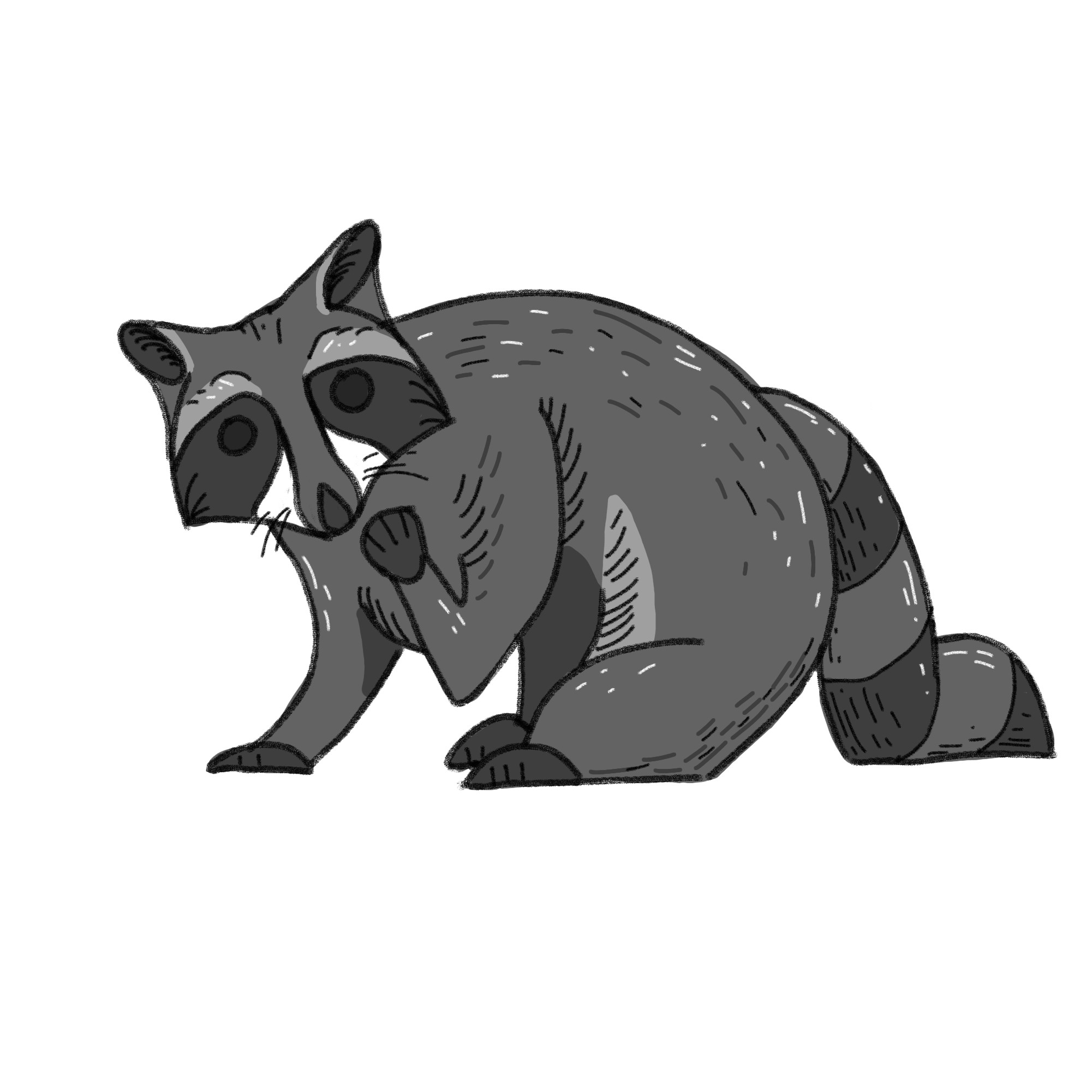 Final picture of completed sketch of raccoon with shading