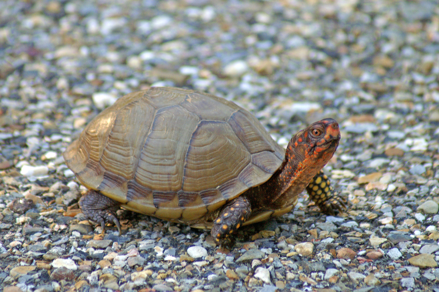 Box turtles are on the move all over Arkansas