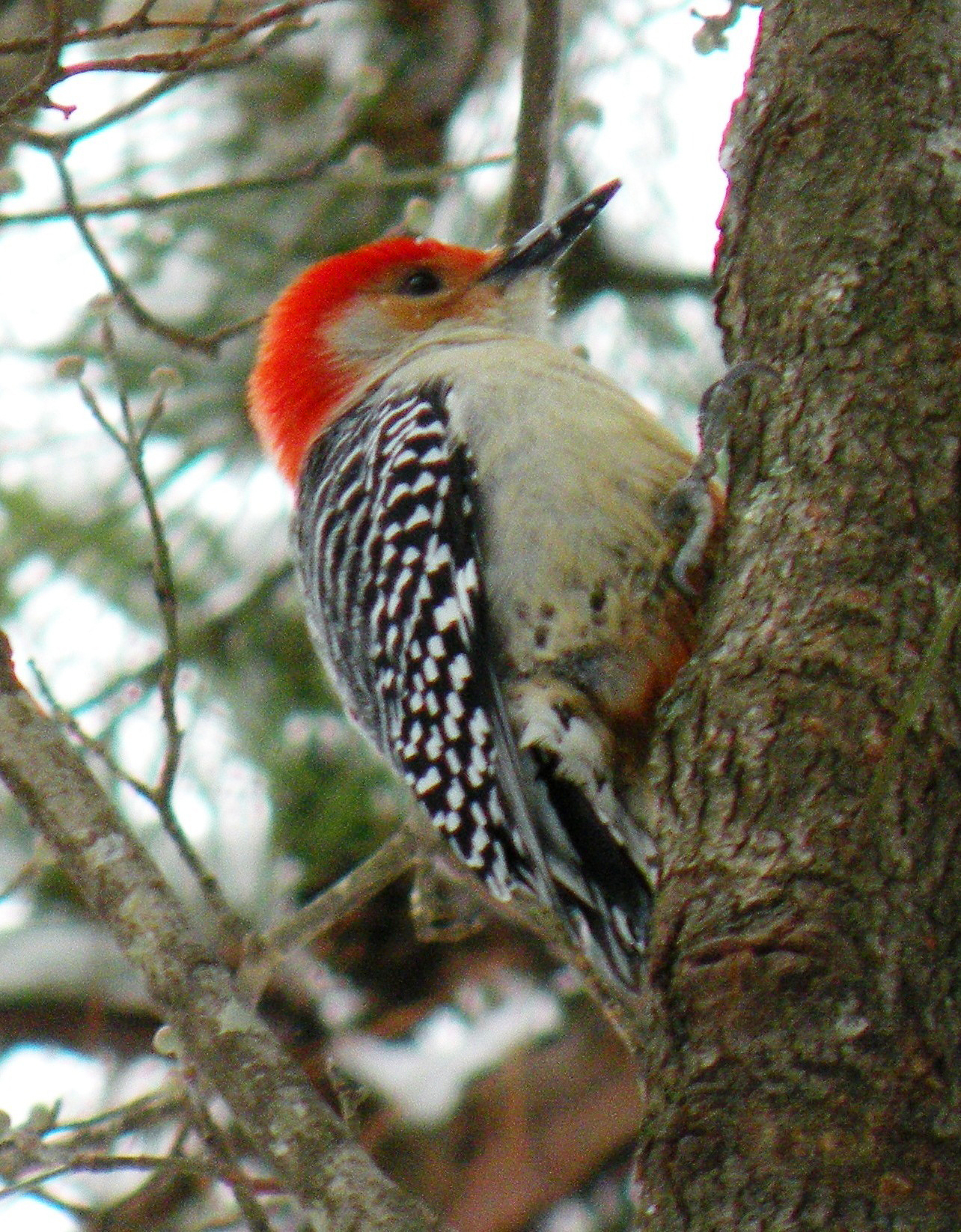 This woodpecker has red on both its head and belly